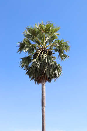 Palmyra palm with blue sky background, Toddy palm, Sugar palm