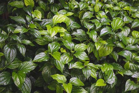 close up of wildbetel leafbush or piper sarmentosum roxb, chaplo leaves