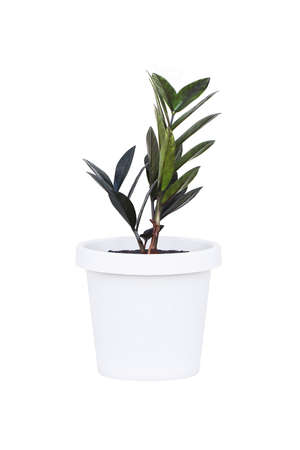 zamioculcas zamifolia or dollar tree plant isolated on white background