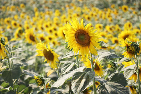 close up of sunflower in field Stock Photo