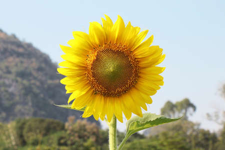 sun flower with blue sky background Stock Photo