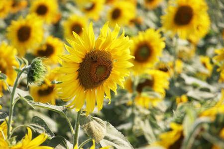 closeup of sunflower in field