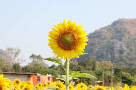 sunflower with blue sky background Stock Photo