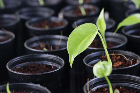 closeup of monstera plant seedling in pot Stock Photo
