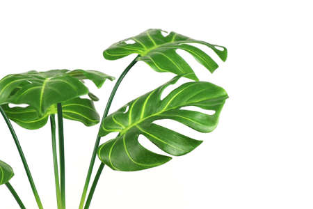 Artificial monstera leaves isolated on a white background