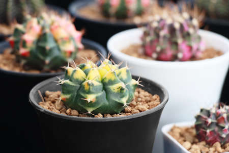 group of colorful gymnocalycium mihanovichii variegata cactus