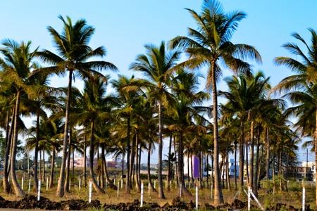 Coconut trees photo