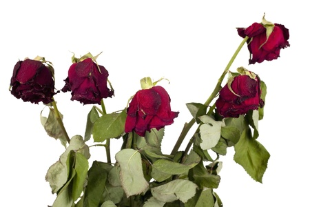 Faded roses isolated on white background  photo
