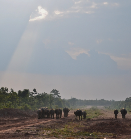 herd of buffalo  go beside the road, thailand photo