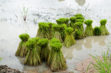 rice sprouts for field in Thailand photo