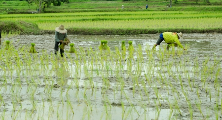 baby rice: Farmer was transplanting on their land,old process of rice