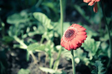 gerbera daisies in the garden in spring photo