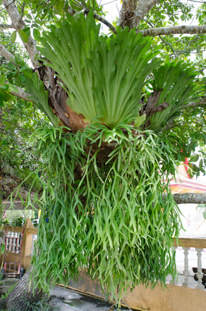 staghorn fern: Platycerium on the tree,staghorn fern