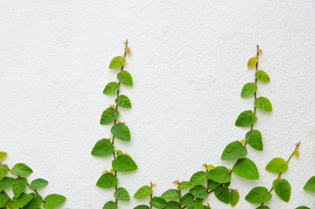Climbing fig tree and white wall