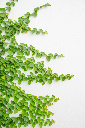 feigenbaum: Klettern Feigenbaum und wei�e Wand