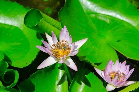 bee swarm: Closeup lotus bee swarm