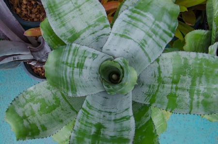 aechmea: Plant Bromeliad Latin name Aechmea fasciata