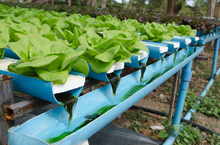 butter head: the Butter head vegetable in hydroponic farm