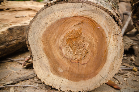 Tree trunk after being cut photo