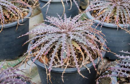 aechmea: the Plant Bromeliad Latin name Aechmea fasciata