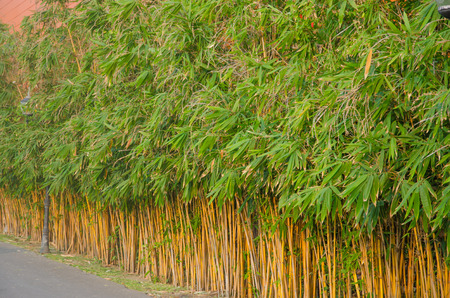impermeable: Dense foliage of fresh green bamboo creating an impermeable fence in a garden.