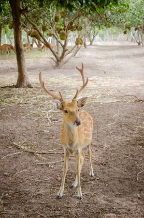 axis deer: Chital or cheetal deer (Axis axis), also known as spotted deer or axis deer