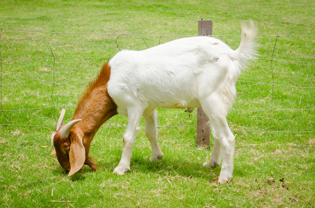 goat head: young goat grazing  at the farm yard Stock Photo