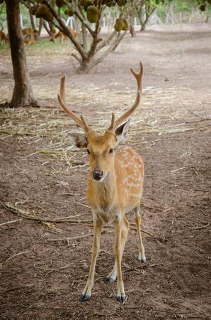 axis: Chital o eje Eje ciervos cheetal tambi�n conocido como ciervo manchado o el ciervo axis