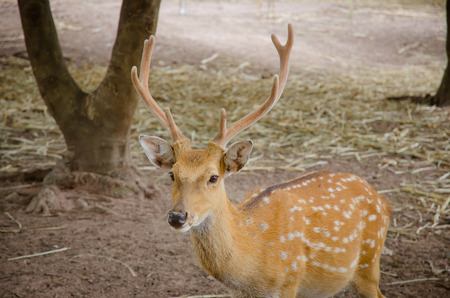 Chital or cheetal deer Axis axis also known as spotted deer or axis deer
