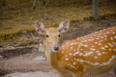 axis deer: Chital or cheetal deer Axis axis also known as spotted deer or axis deer