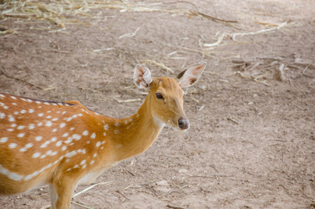 madhya: Chital or cheetal deer Axis axis also known as spotted deer or axis deer