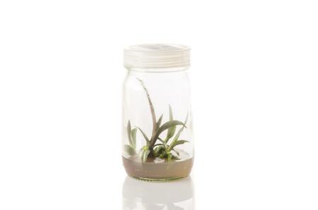 tissue culture: plant tissue culture in the laboratory on white background Stock Photo