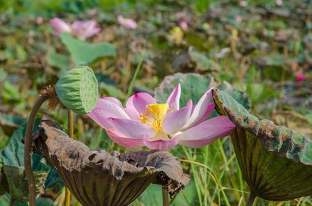 nelumbo: lotus flower in nature. Nelumbo nucifera