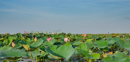 nucifera: flor de loto en la naturaleza. Nelumbo nucifera