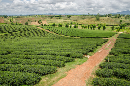 boh: Tea plantations in the north of Thailand.