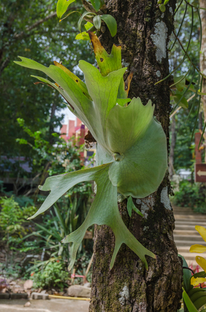 tropical native fern: Platycerium on the tree,staghorn fern on the tree