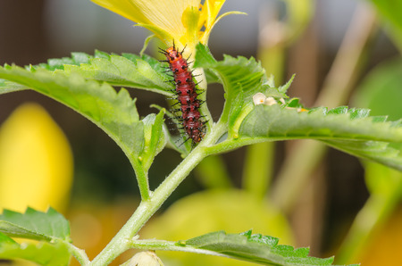 polymorphism: The Dark red caterpillar on green leaf and yellow flower