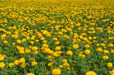 tradional: Marigold flowers garden Stock Photo