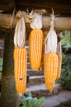drying corn cobs: Ripe dried corn cobs hanging,corn seeds make it dry. Stock Photo