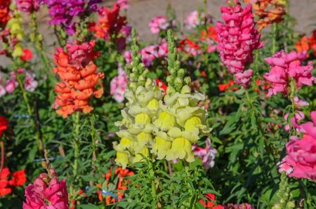 antirrhinum majus: Snap dragon (Antirrhinum majus) blooming in garden