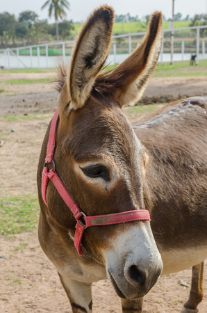 portrait of a donkey in farm.