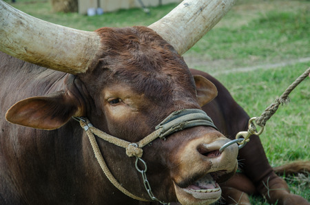 longhorn: Close up image of a longhorn bull in farm Stock Photo