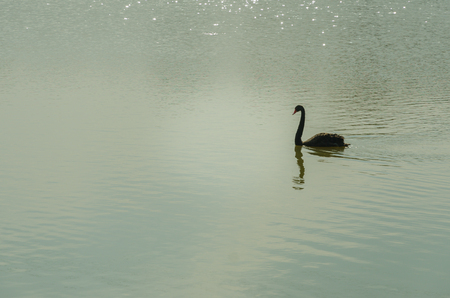 cygnet: The red bill black swan swimming on the lake Stock Photo