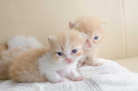 purring: Cute little grey kitten lying towel, on sofa Stock Photo