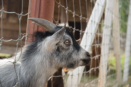pygmy goat: picture of a pygmy goats in front of a steel fence Stock Photo