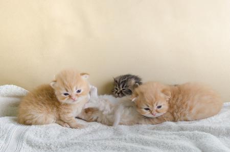 purring: Cute little kitten lying towel, on sofa.
