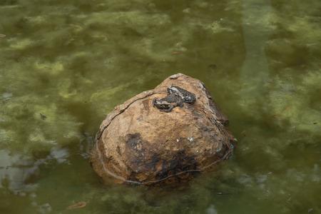 bullfrog: Bullfrog on a stone in a pond