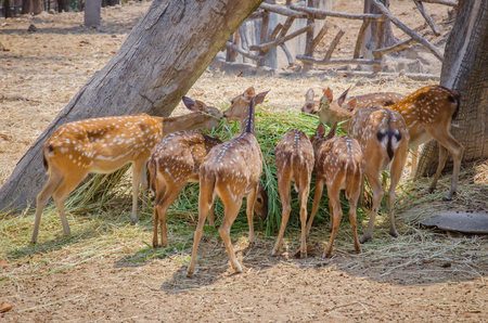 axis deer: Chital or Spotted deer or Axis deer eating grass in farm