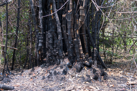bushfire: bamboo after a forest fire