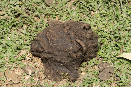 faeces: Faeces of cattle on grass